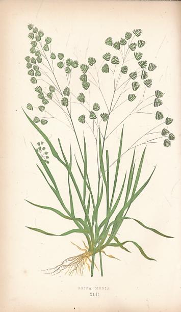 LOWE, E J - A Natural History of British Grasses