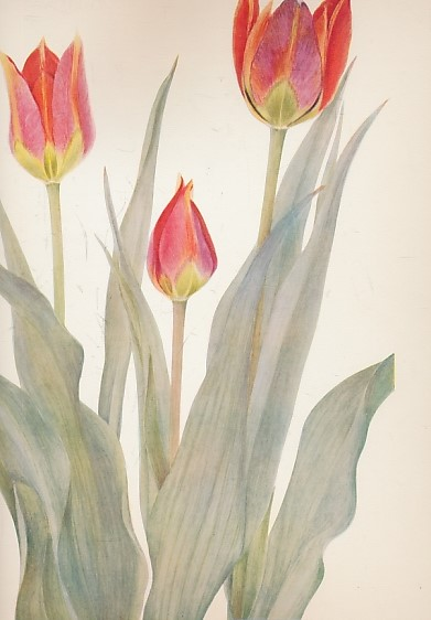 DYKES, W R & E KATHERINE - Notes on Tulip Species